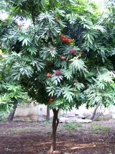 Un arbre sacré de l'Inde - Ashoka