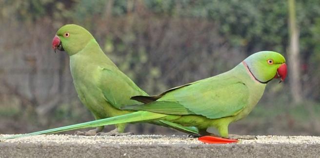Des perroquets accros à l'opium en Inde et de la musique Indienne à Paris...